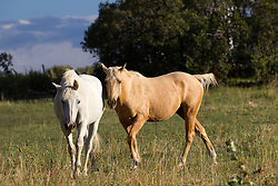 two horses walking in a field in New Mexico