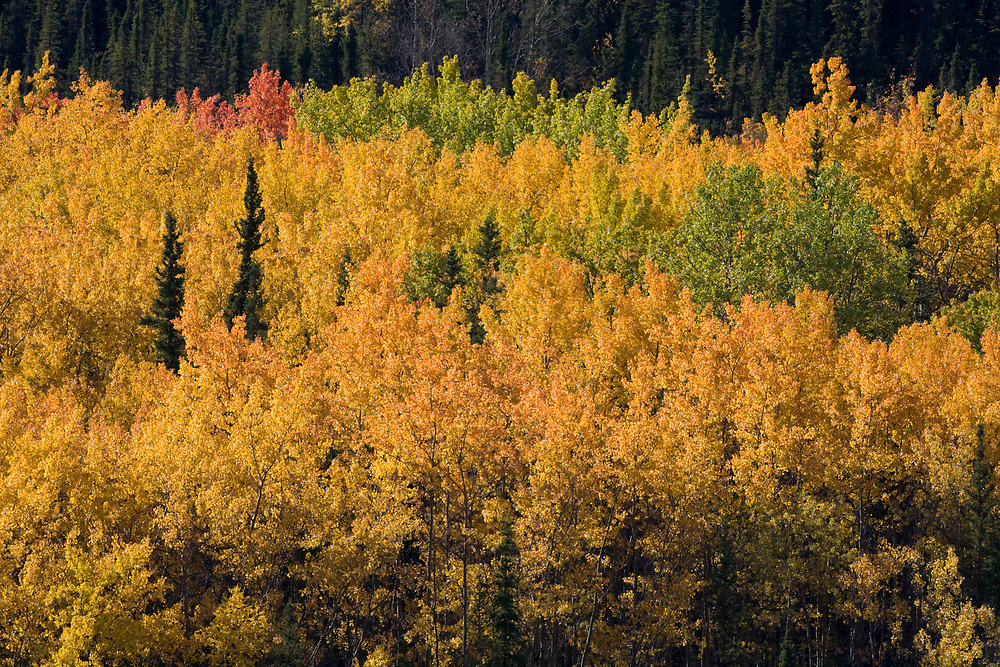 USA, Alaska, Denali National Park, Fall Foliage along Savage River