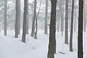 "Winter day with snowstorm in coastal pine (Pinus sylvestris) forest, nature park ""Ragakāpa"", Latvia Ⓒ Davis Ulands | davisulands.com"