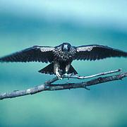 Peregrine Falcon, (Falco peregrinus) Testing wings on snag. North Shore of Lake Superior.