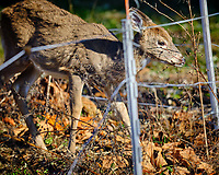 Young Deer inside the Electric Fence. Image taken with a Fuji X-H1 camera and 200 mm f/2 camera + 1.4x teleconverter (ISO 200, 280 mm, f/2.8, 1/900 sec).