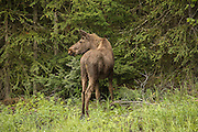 Moose calf at edge of forest, rear view