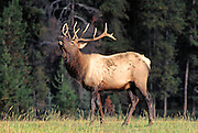 Bull elk bugles during fall rutting season, Rocky Mountain National Park, Colorado