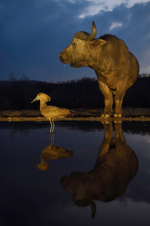 Hammerkop or Hammerhead stork, Scopus umbretta, with an African buffalo or Cape buffalo (Syncerus caffer) in the background, Zimanga Private Nature Reserve, KwaZulu Natal, South AfricaZimanga Private Nature Reserve, KwaZulu Natal, South Africa