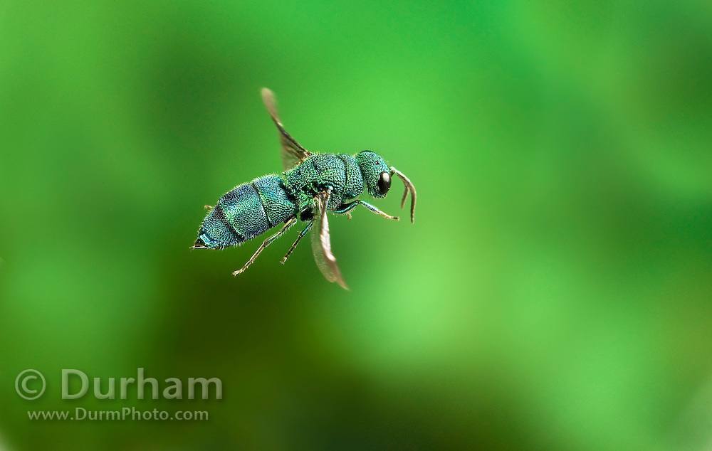 An iridescent cuckoo wasp (Chrysididae sp.) in flight. Photographed in The Nature Conservancy's Zumwalt Prairie Preserve in NE Oregon. The name 'cuckoo wasp' is attributed to the fact that this insect, like the cuckoo bird, lays her eggs in the nest of an unsuspecting host. This insect was photographed after being spotted following small leafcutter bees to their nest with the plan of laying an egg in a larvae chamber of the host bee, concealing her activity by re-sealing the hole she made, and then leaving and allowing her offspring to kill and consume the host larvae, in some cases with occasional feedings by the host. Please note: The background of this image was digitally expanded to allow for better composition.