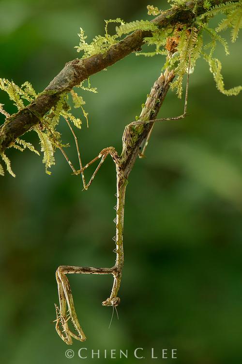 Mantis (Mythomantis serrata). Sarawak, Malaysia (Borneo).
