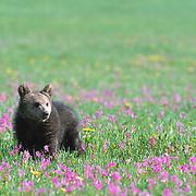 Alaska Brown Bear (Ursus middendorffi) spring cub. Captive Animal