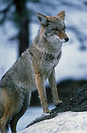 Photographs from the project documenting the 100th anniversary of Yosemite National Park in 1990.<br /> <br /> A coyote pauses in Yosemite Valley.