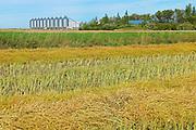 Canola crop and grain binns<br /> Lang<br /> Saskatchewan<br /> Canada