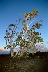 `Ohi`a or Ohia Lehua, Metrosideros polymorpha, the official flower of the Big Island, one of the pioneer plants grows on bare lava rocks, Hawaii, USA Volcanoes National Park, Kilauea, Big Island, Hawaii, USA