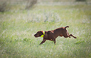 SHOT 5/9/20 8:56:55 AM - Various pointing breeds compete in the Vizsla Club of Colorado Licensed Hunt Test Premium at the Rocky Mountain Sporting Dog Club Grounds in Keenesburg, Co. (Photo by Marc Piscotty / © 2020)