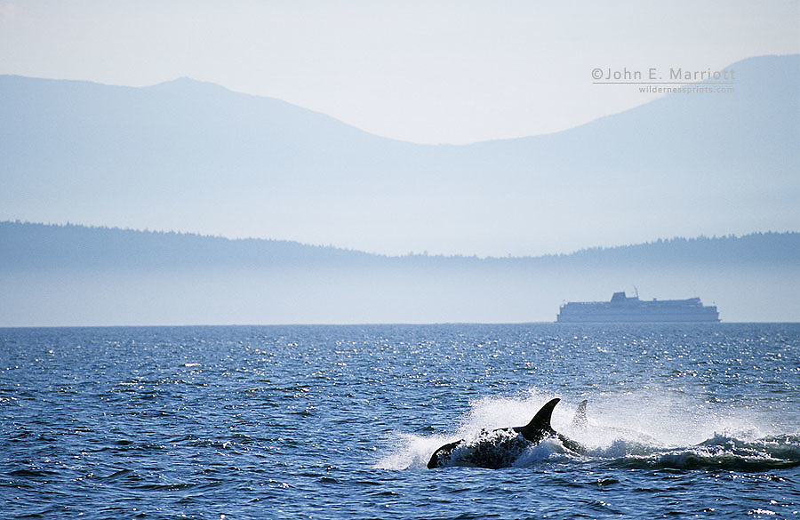 Orcas and a BC Ferry in front of Vancouver Island near Nanaimo, BC