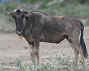 A blue wildebeest (Connochaetes taurinus) in brown summer grass. .   Sinya Wildlife Management Area, Tanzania.