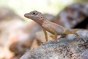 A small lizard in St. John, U.S. Virgin Islands.