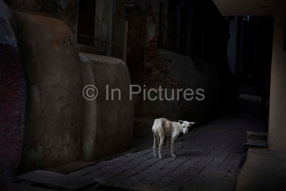 Stray, starving dog on a backstreet, 20th January 2018  in the city of Udaipur, India.