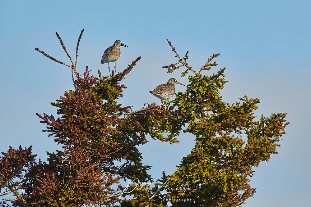 Pair of Willet (catoptrophorus semipalmatus) iperched at the top of a fir tree, Cherry Hill Beach, Nova Scotia, Canada,