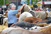 Nederland, Elst, 5-9-2016Paardenmarkt, ponymarkt in Elst, Elster paardenmarkt. Het aanbod van dieren daalt sinds 2008 . Vorig jaar waren er ruim 1200, vandaag minder als 900 . Deze is geplaatst op de Nationale Inventaris Immaterieel Cultureel Erfgoed . Handelaren van paarden. De dieren mogen alleen op de markt verhandeld worden als ze een chip in zich hebben . Het is een grote lokale attractie .Foto: Flip Franssen/