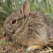 Mountain Cottontail, (Sylvilagus nuttalli) young bunny feeding on grass in foothills of Bridger Mountains. Montana.   Captive Animal.
