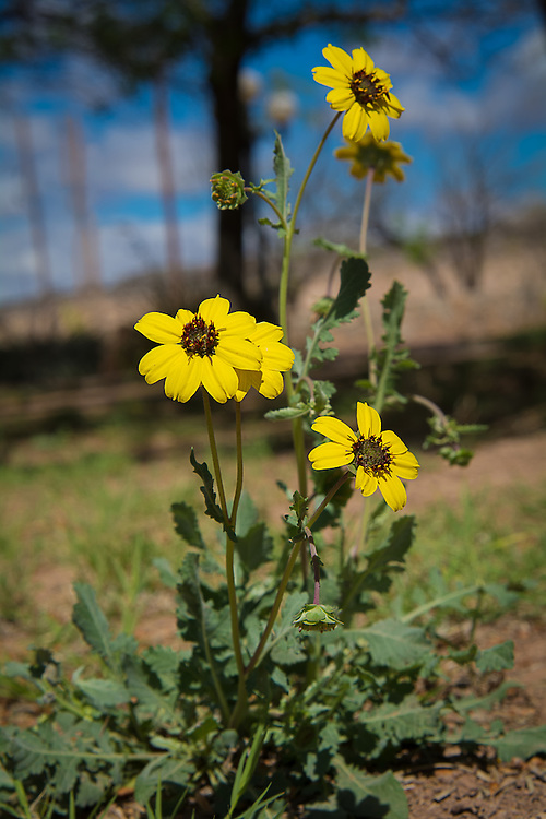 This wonderfully attractive one-inch, desert-loving daisy is found throughout much of the American Southwest where it blooms year-round as long as it doesn't come in contact with frost. Best seen in the morning hours, this local member of the aster family begins to droop in the midday heat. Want to know something amazing about this particular flower? It smells just like chocolate! These were photographed literally at the edge of town in Van Horn, West Texas - where civilization meets the harsh and brutal Chihuahuan Desert.