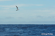 gray tern, grey tern or grey-backed tern, Sterna lunata, (or possibly sooty tern or  bridled tern, S. fuscata or S. anaethetus) marks a school of fish, Vava'u, Kingdom of Tonga, South Pacific
