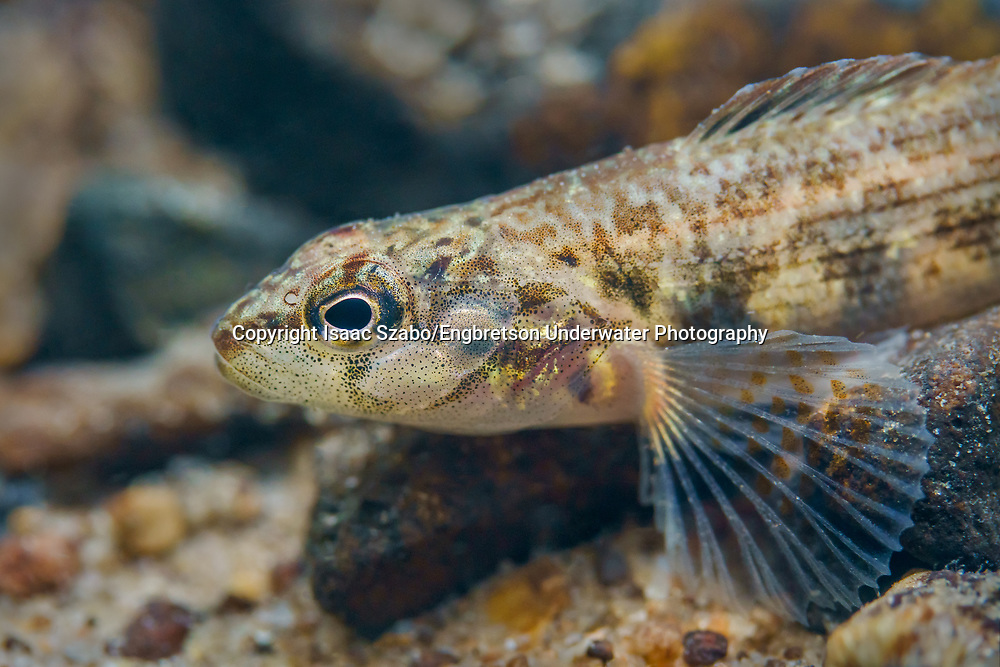Corrugated Darter<br /> <br /> Isaac Szabo/Engbretson Underwater Photography