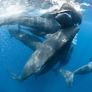 Family of sperm whales (Physeter macrocephalus) engaged in social activity. Sperm whales are very tactile, as can be seen here with the whales rubbing against one another. This group had three juvenile whales among them.