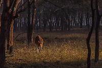 Spotted deer in the woods at Ranthambore National Park