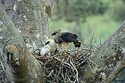 Crested Eagles in Nest- Female & Young<br />Morphnus Guianensis<br />Puerto Maldonado.  Amazon Rain Forest. PERU<br />South America<br />Range; Guatemala to Argentina & Brazil