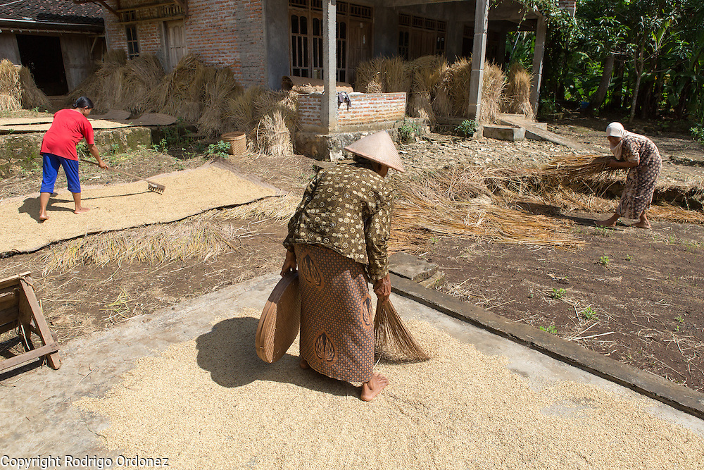 Menur cooperative member Sarniati, 48 (right), arranges bundles of rice at her family home in Wareng, Wonosari subdistrict, Gunung Kidul district, Yogyakarta Special Region, Indonesia. Her daughter-in-law Andri Astuti, 30 (left), and her mother Talia, 70 (center), are spreading grains of rice to dry.
