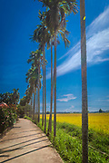 Sept. 2020: Hoi An: Golden rice fields before harvest.<br /> Tall palm trees line the sidewalk access road to the fields.