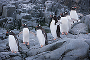 Gentoo penguins marching down to the sea for a swim to catch food for themselves and their young chicks near Port Lockroy, Antarctic Treaty Historic Site No. 61, British Base A. Home to a small Gentoo penguin colony. Antarctica.