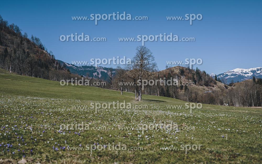 THEMENBILD - Krokus auf einer Wiese im Kapruner Tal mit Blick auf den Bürkogel, aufgenommen am 05. April 2020 in Kaprun, Oesterreich // Crocus in a meadow at the Kapruner Tal with a view to the Bürkogel, in Kaprun, Austria on 2020/04/05. EXPA Pictures © 2020, PhotoCredit: EXPA/Stefanie Oberhauser