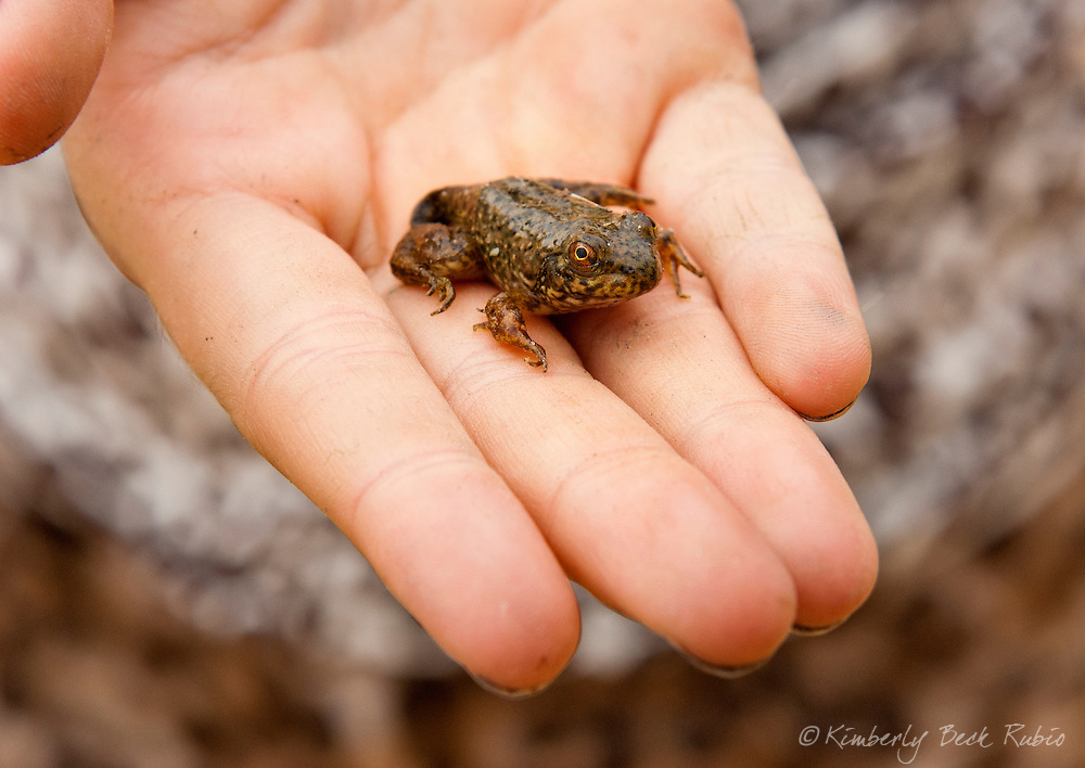 Frog sitting on a child's hand.