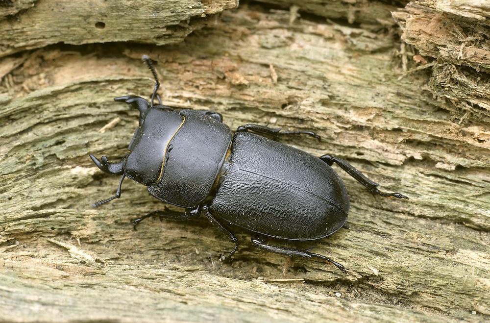 Lesser Stag Beetle - Dorcus parallelipedus