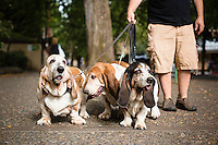 Basset Hounds in Portland, Oregon.