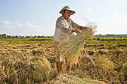 16 MARCH 2006 - KAMPONG CHAM, KAMPONG CHAM, CAMBODIA: Harvesting rice in a dry rice paddy near the city of Kampong Cham in central Cambodia on the Mekong River. Photo by Jack Kurtz