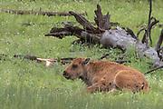 Buffalo calf  at Yellowstone National Park, Wyoming
