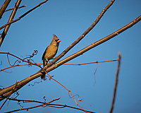 Female Northern Cardinal in the Vines. Backyard Winter Nature in New Jersey. Image taken with a Nikon D2xs camera and 70-200 mm VR lens (ISO 200, 200 mm, f/2.8, 1/3000 sec)