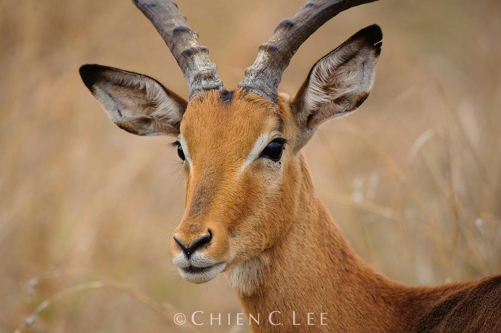 Impala (Aepyceros melampus). Kruger National Park, Mpumalanga, South Africa.