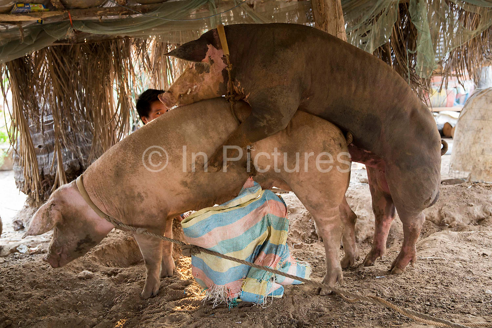 A bore and sow pig mating with the male pig handler sit behind to ensure the intercourse is successful in Battambang region, Cambodia, South East Asia.