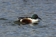 Shoveler (male) - Spatula clypeata. L 44-52cm. Unmistakable because of bill shape. Usually unobtrusive. In flight, male shows blue forewing panel and white-bordered green speculum; in female, blue is replaced by grey. Sexes are dissimilar overall. Adult male has shiny green head, white breast and chestnut on flanks and belly. Stern is black and white and back is mainly dark. Has yellow eye and dark bill. In eclipse, resembles adult female although body is more rufous and head greyer. Adult female has mottled buffish brown plumage and yellowish bill. Juvenile is similar to adult female. Voice Male utters a sharp tuk-tuk while female makes a soft quack. Status Scarce breeding species on freshwater wetland. Commoner and more widespread in winter but seldom numerous.