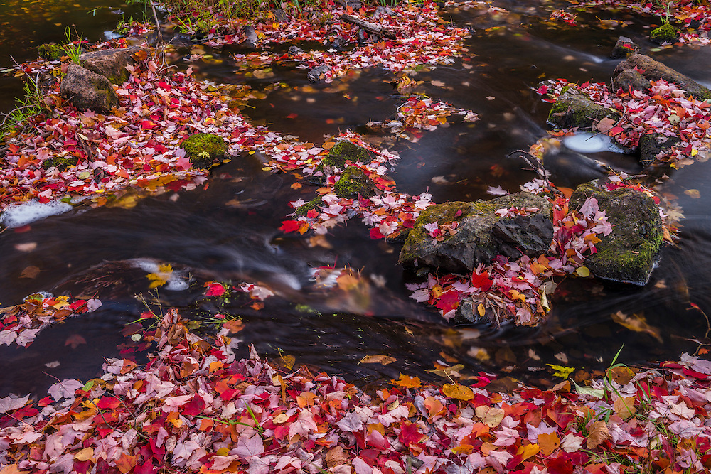 Detail of riverbed with water flowing over leaf covered rocks, red maple leaves and other bright colors of fall, Wadsworth Falls State Park, Middlefield, CT
