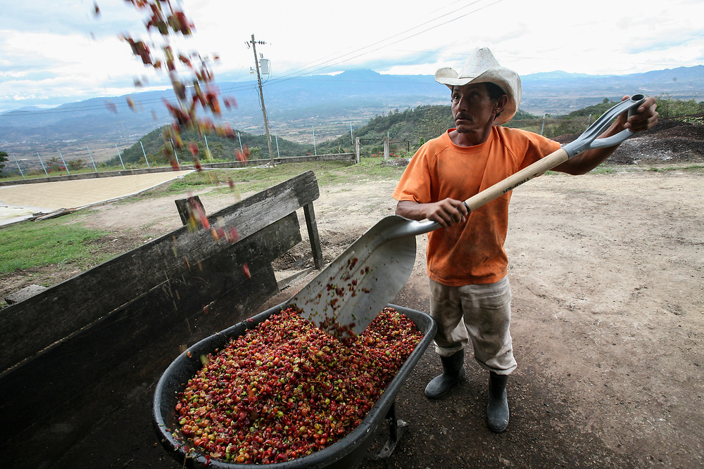 Coffee mucilage or pulp pours into a wheelbarrow to be disposed of in the compost system. Cooperativa Agropecuaria de Producción Flor del Pino is a Fairtrade-certified producer based in Ocotepeque, Honduras.
