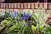 Maidenhead, Berkshire, United Kingdom, Monday, 12/04/2021, General View,  Flower Bed with, Grape Hyacinth,  Boulters Lock, Ray Mill Island, River Thames, Thames Valley, [Mandatory Credit; Pete Spurrier],