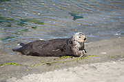 a California sea otter or southern sea otter, Enhydra lutris nereis ( threatened species ), comes ashore to bask on the beach at Elkhorn Slough, Moss Landing, California, United States ( Eastern Pacific ); this is the only location where Pacific sea otters are known to come ashore regularly