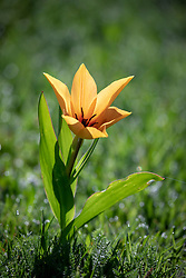 Tulipa praestans 'Shogun' growing in grass