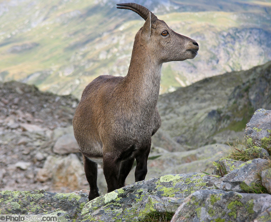 Capra ibex (Steinbok) adult female walks above Chamonix, France, in the Reserve Naturelle Aiguilles Rouges, on the Chamonix-Zermatt Haute Route (High Route), Europe.