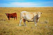 Cattle. Charolais<br /> near Beechy<br /> Saskatchewan<br /> Canada