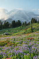 Mount Rainier Paradise wildflower meadows containing  a mixture of Broadleaf Lupines, Pink Mountain Heather, and American Bistort. Mount  Rainier National Park, Washington