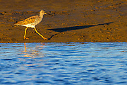 A greater yellowlegs (Tringa melanoleuca) casts its shadow and a reflection as it walks along the muddy banks of the Stillaguamish River at sunset on Leque Island near Stanwood, Washington.